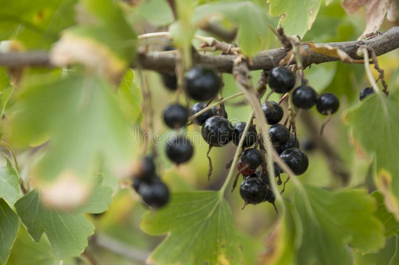 Ripe black currant berries are growing in the garden. Early autumn stock image