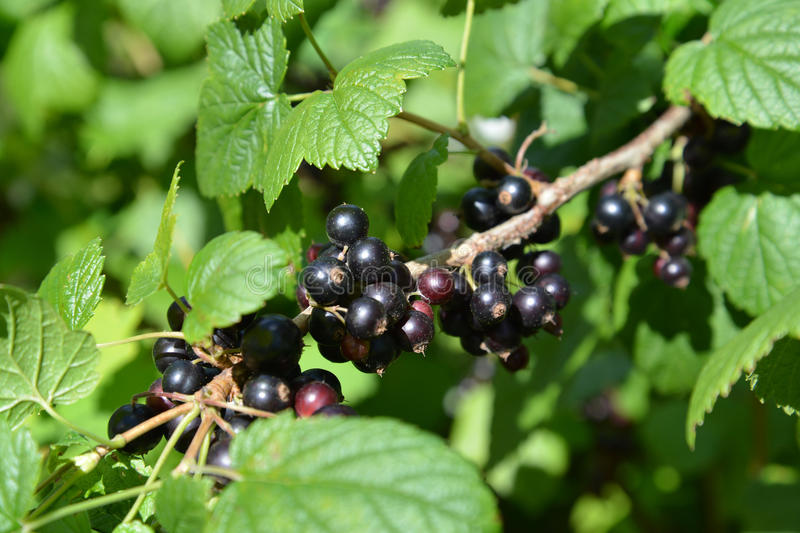 Ripe black currant (Ribes nigrum L. ) royalty free stock images