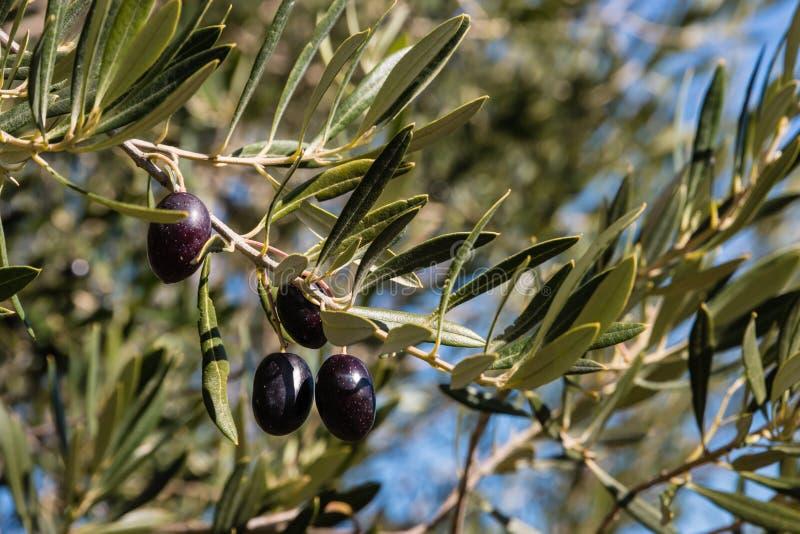Ripe black olives on tree against blue sky. Closeup of ripe black olives on tree against blue sky stock image