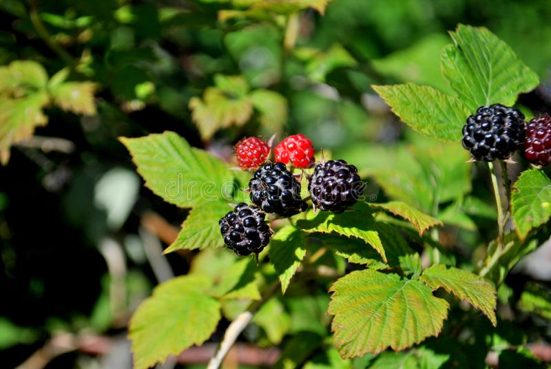 Ripe black raspberry berries on a branch in the rays of the midday sun. stock images