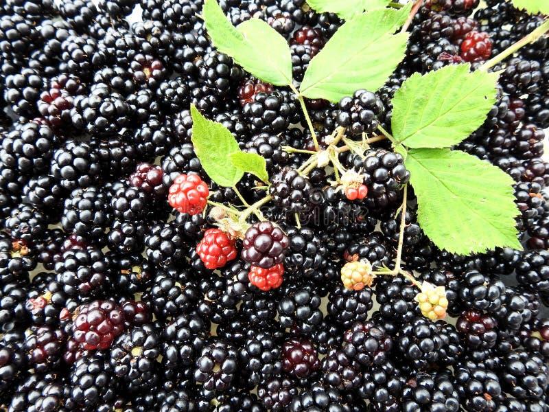 Ripe blackberry in summer, Lithuania stock photo