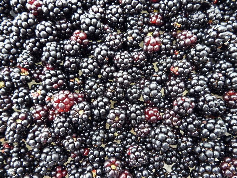 Ripe blackberry in summer, Lithuania stock images