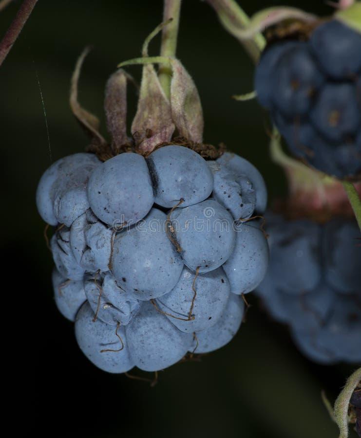 Ripe Blackberry in Ukraine forest royalty free stock image