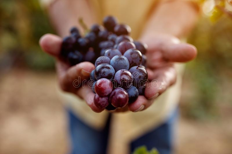 Ripe blue grapes royalty free stock photography