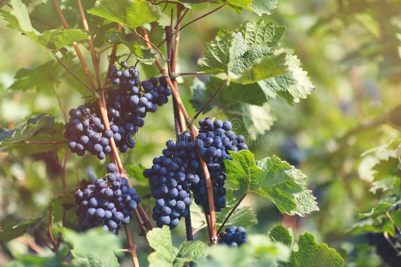 Ripe blue grapes in vineyard. Autumn, harvest time. Ripe blue grapes in vineyard. Autumn, sunny day, harvest time. Selective focus, copy space. Winegrowing stock images