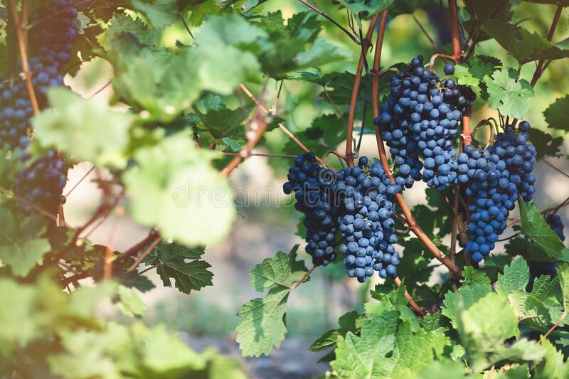 Ripe blue grapes in vineyard. Autumn, harvest time. Ripe blue grapes in vineyard. Autumn, sunny day, harvest time. Selective focus, copy space. Winegrowing stock photo