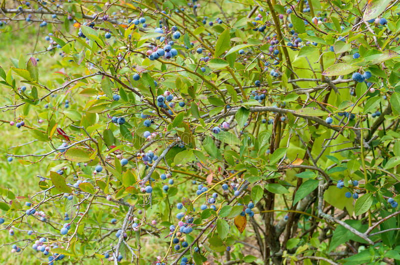 Ripe blueberries on a blueberry bush stock image