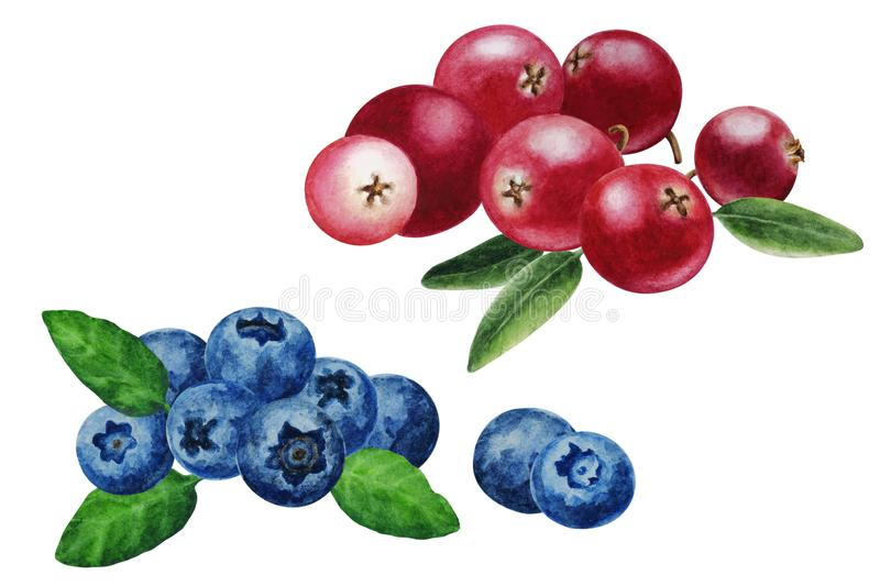 Ripe blueberries and cranberries with leaves, hand drawn watercolor royalty free illustration