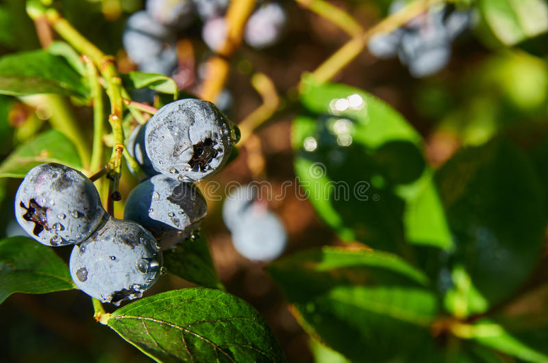 Ripe blueberry cluster. On a branch royalty free stock photography