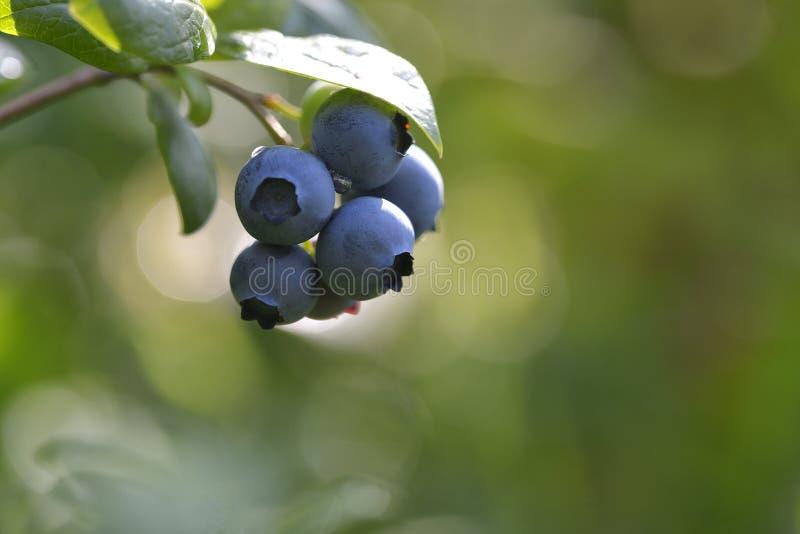 Ripe blueberry cluster on a blueberry bush.  stock photos