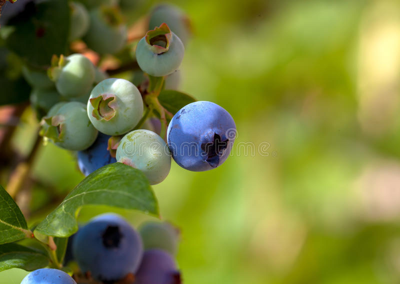 Ripe blueberry cluster. On a blueberry bush royalty free stock image