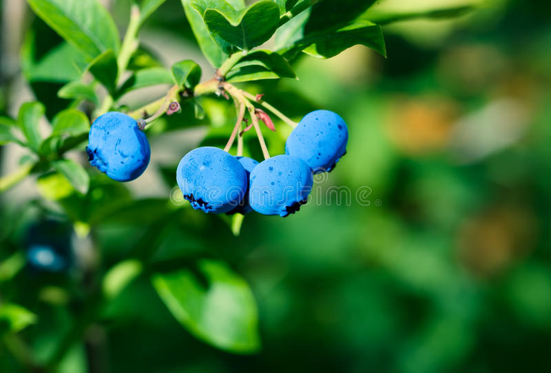 Ripe blueberry cluster. On a blueberry bush royalty free stock photography