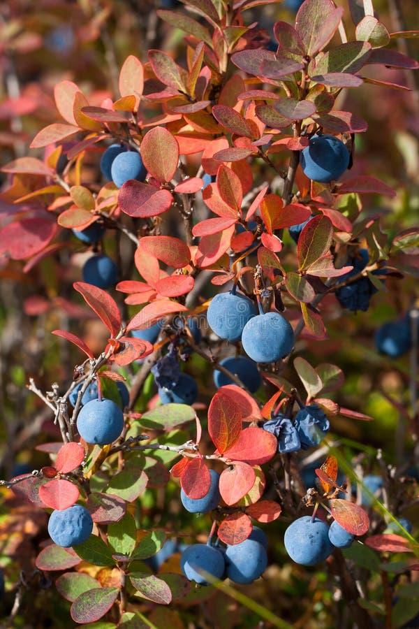 Ripe bog bilberry stock photography
