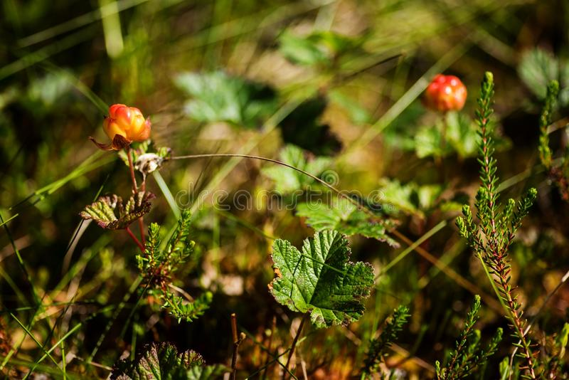 Cloudberry in a marsh. Ripe boreal cloudberry Rubus chamaemorus in a finnish marsh, eastern area of Finland royalty free stock photos