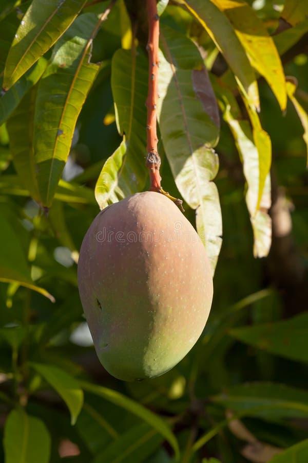 Ripe Bowen Mango Hanging from a Tree royalty free stock photos