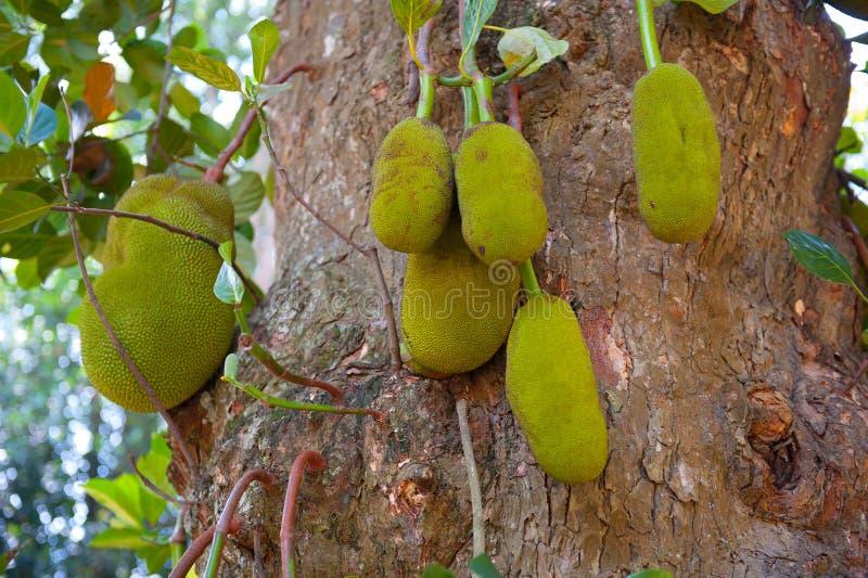 Ripe breadfruits royalty free stock photo