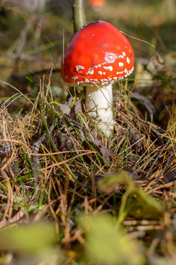Ripe bright red mushroom fly agaric in the forest in the sun, inedible poisonous hallucinogenic. Mushroom royalty free stock images