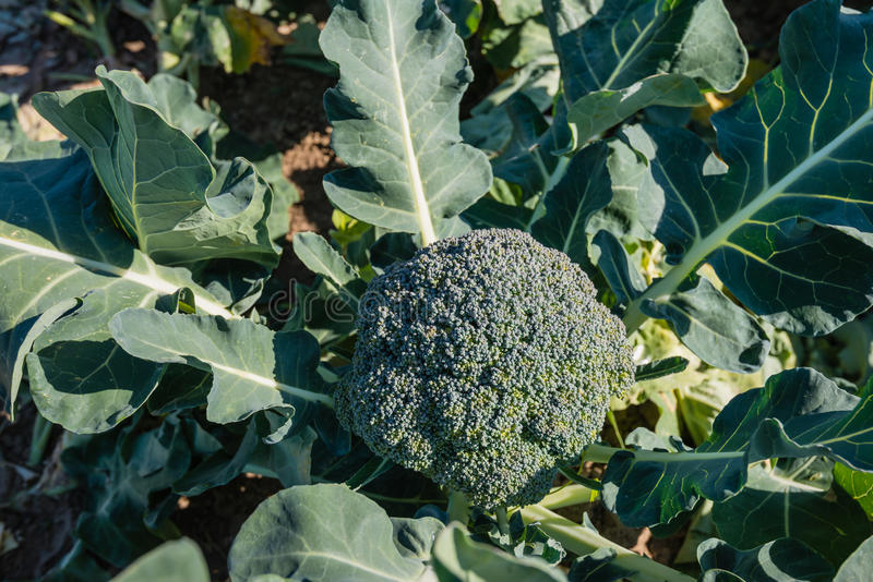 Ripe Broccoli plant from above royalty free stock photo