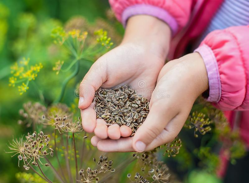 Ripe brown dill seeds in a child  hand for planting and obtaining green plants. Close up. Fennel flowers. Outdoors. The concept royalty free stock images