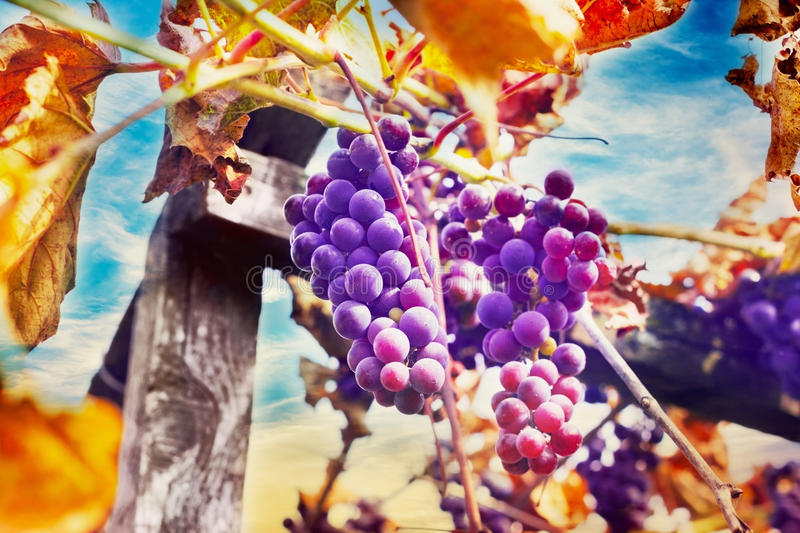 Ripe bunch of grapes with autumn leaves on wooden pole against blue sky, harvest purple grapes royalty free stock photography