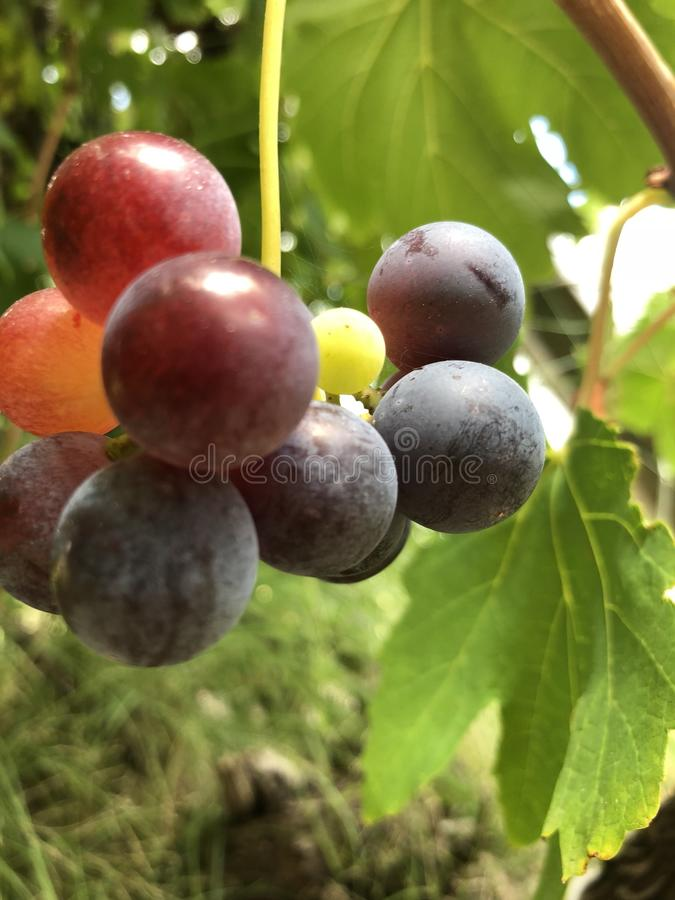 Grape bunch. Ripe bunch of grapes royalty free stock image