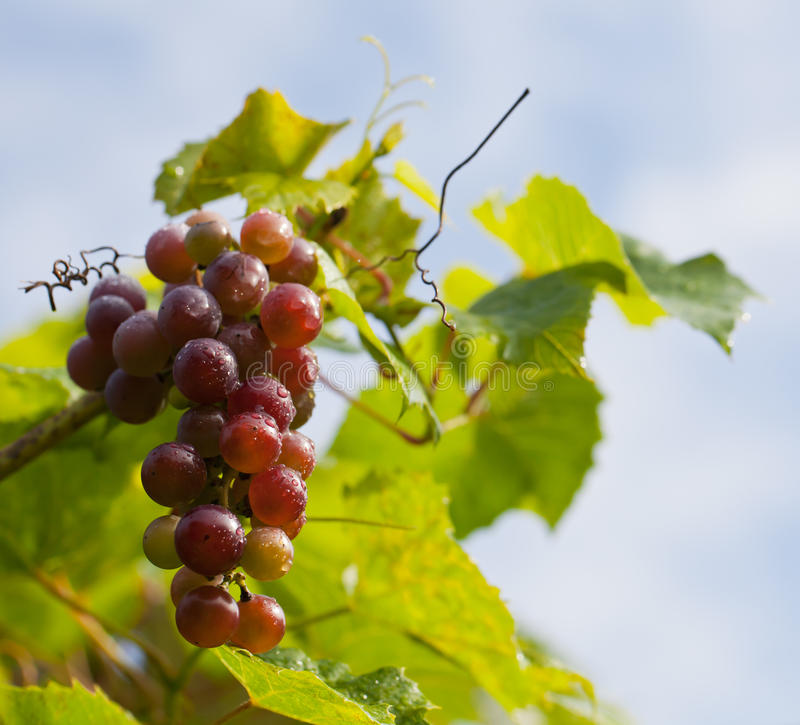 Ripe bunch of grapes on vine stock photos
