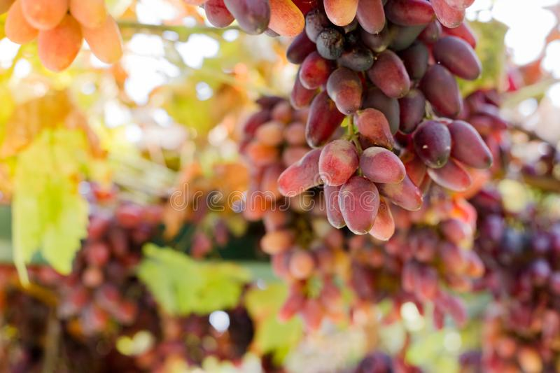 Ripe bunch of red grapes on vine. Autumn grapes harvest for food or wine making In Vineyard. Red Seedless Grapes grape sort. Fresh stock images