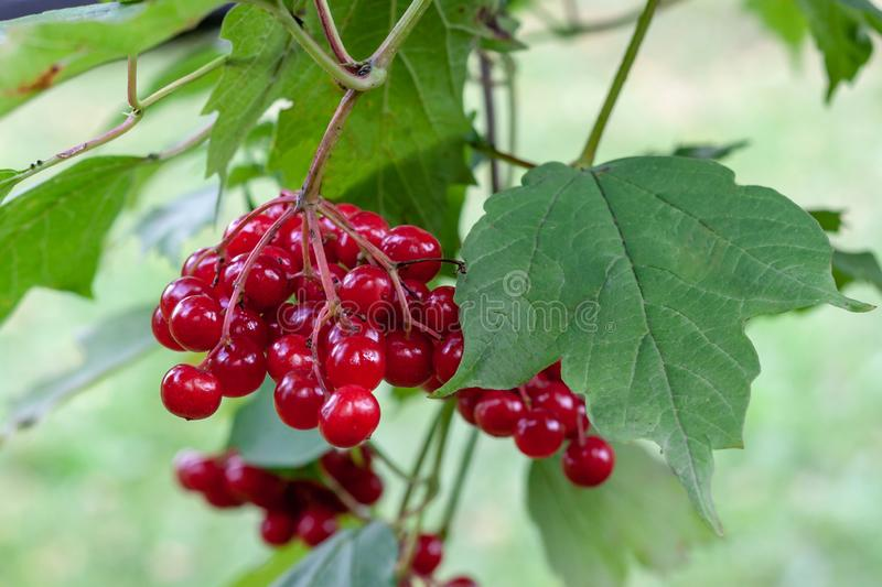 A ripe bunch of red viburnum on a branch with green leaves royalty free stock photo