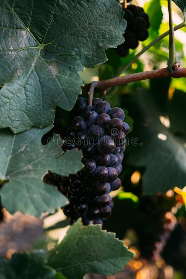 Ripe bunches of grapes on the branches, harvest on vineyard stock photos