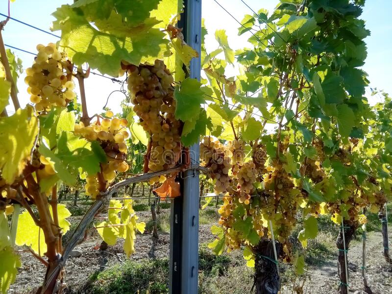 Bunches of grapes in the Slovak Tokaj valley royalty free stock photo