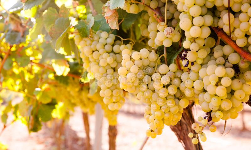 Ripe bunches of green grapes hanging. In vineyards royalty free stock images