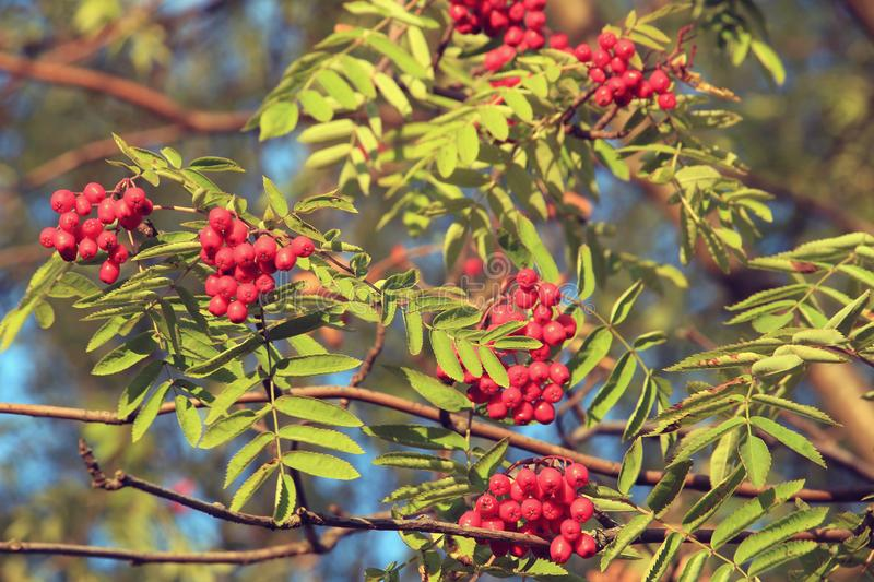 Ripened bunches of mountain ash on a tree royalty free stock photo