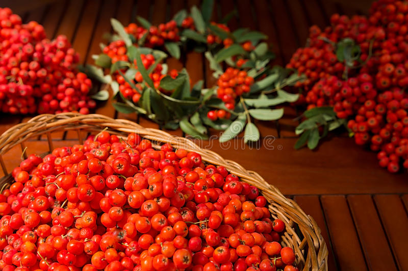 Ripe bunches of rowan berries in a wicker basket. Photographed outdoor in sunny day stock photography