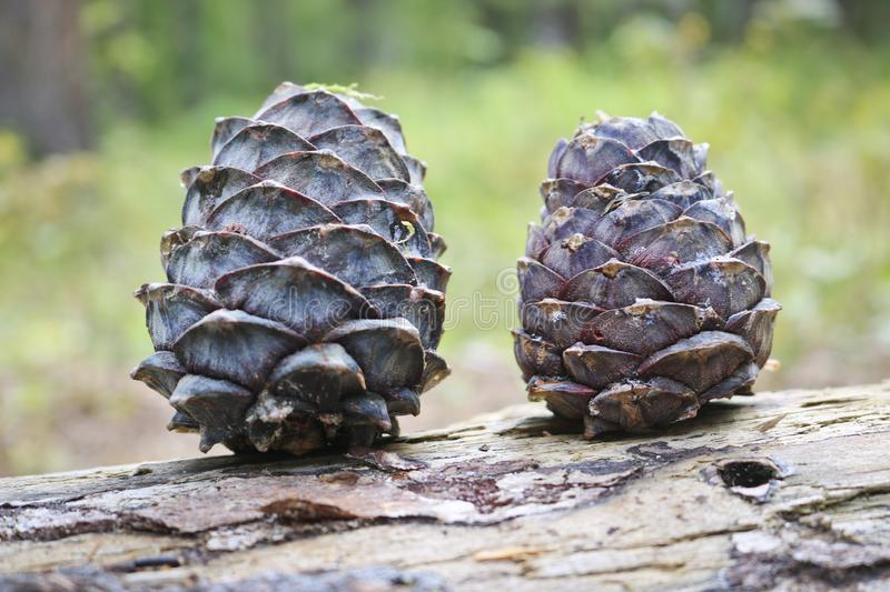 Ripe Cedar cones with nuts. Still life from the Siberian taiga. Siberian pine cone royalty free stock images