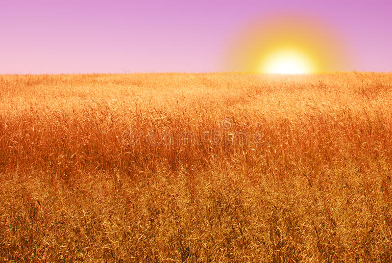 Ripe cereal field in the evening