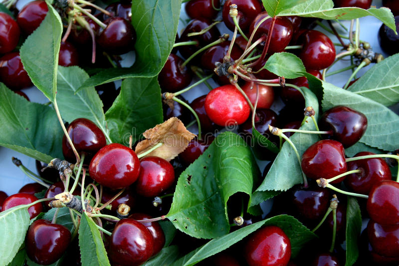 Download Ripe cherries stock photo. Image of details, drupes, plant - 10001482