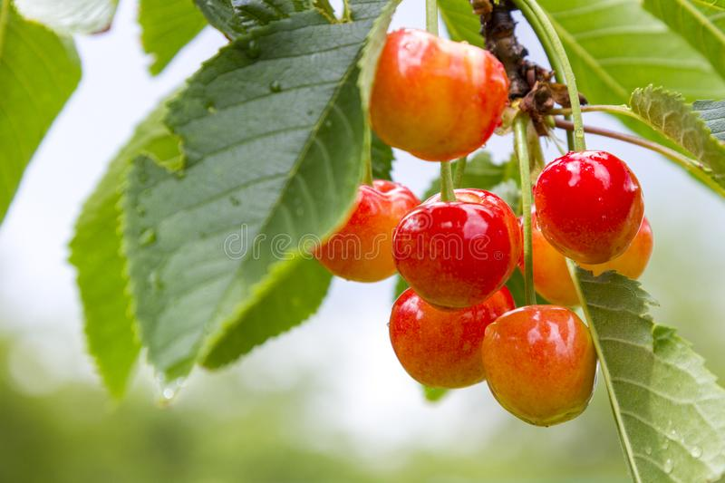 Ripe cherries branch with raindrops. Red berry fruit tree after rain, summer time garden background. Selective focus. Beautiful bokeh photo stock image