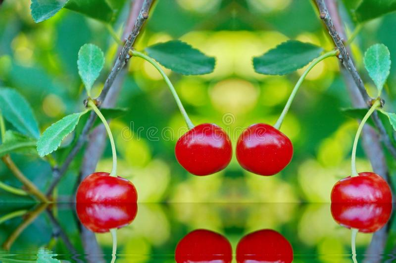 ripe cherries in the garden are red sweet blurred background ref royalty free stock image