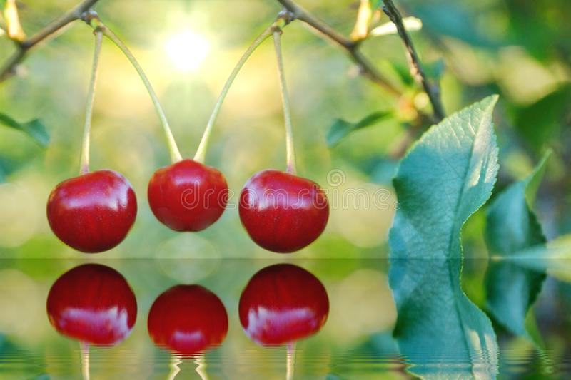 Ripe cherries in the garden are red sweet blurred background ref. Lected in the water. summer cherry orchard royalty free stock photos
