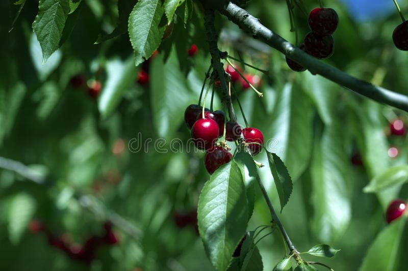 Red ripe berries of sweet cherry on a branch in a summer garden on background of green leaves royalty free stock photo
