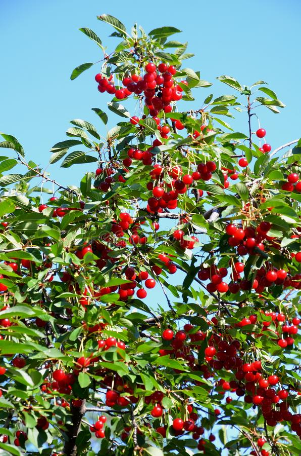 Ripe cherry on a cherry tree against a blue sky. royalty free stock images