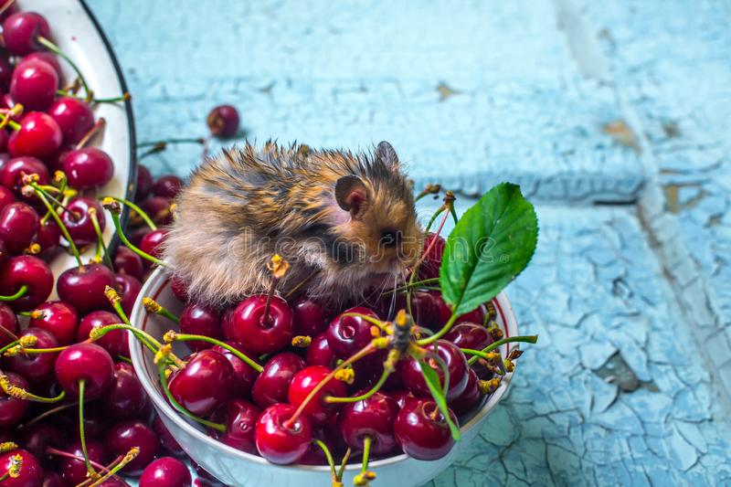 Ripe cherry and hamster stock images