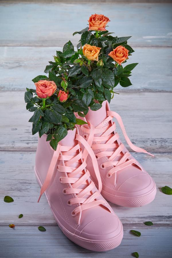 Coral-colored roses with water droplets on the leaves in pink rubber sneakers on a wooden background stock photography