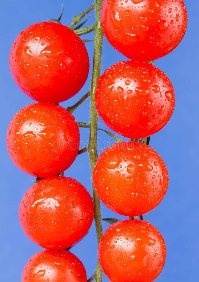 Ripe cherry vine tomatoes on blue. Ripe cherry vine tomatoes on a blue background royalty free stock images