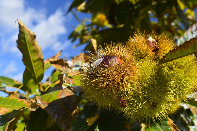 Ripe chestnuts in their thorns pods, on the branches of a chestnut tree with blue sky background. Fruits and autumn foods. Medium stock photography