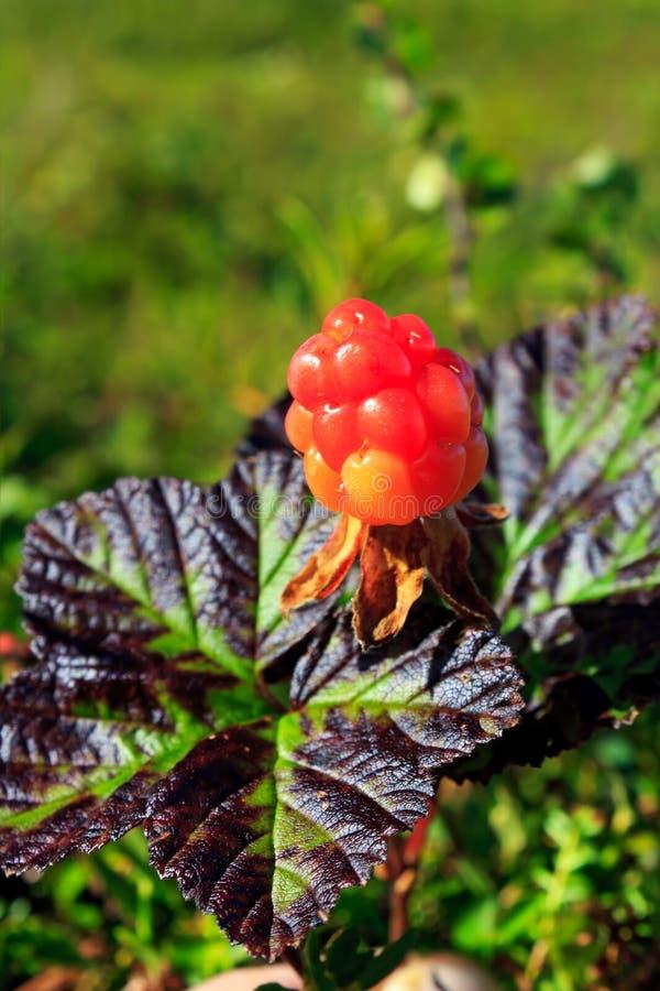 Ripe cloudberry (Rubus chamaemorus). Ripe cloudberry in nature (Rubus chamaemorus stock image