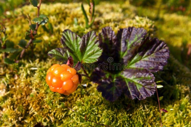 Ripe cloudberry (Rubus chamaemorus). Ripe cloudberry in nature (Rubus chamaemorus royalty free stock images