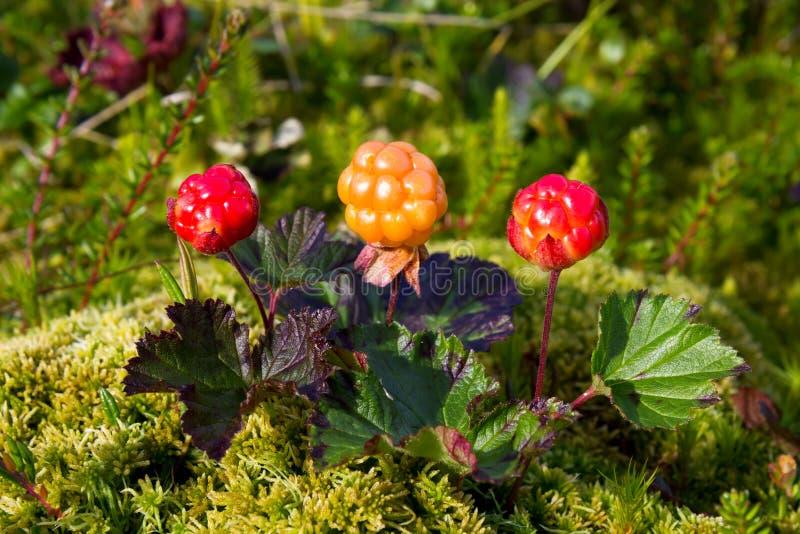 Ripe cloudberry (Rubus chamaemorus). Ripe cloudberry in nature (Rubus chamaemorus royalty free stock photo