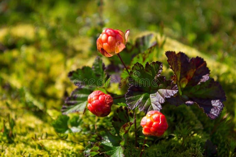 Ripe cloudberry (Rubus chamaemorus). Ripe cloudberry in nature (Rubus chamaemorus royalty free stock photos