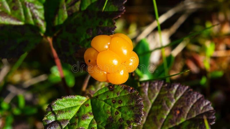 Ripe cloudberry or Rubus chamaemorus at swamp in wild, berry macro, selective focus, shallow DOF.  stock photos